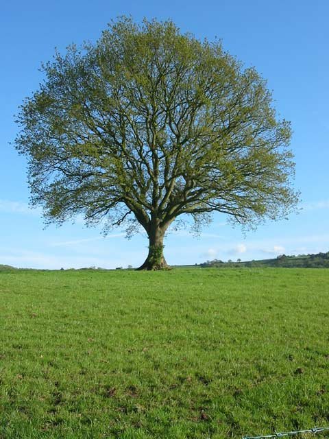 Native Oak Tree